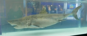 Up close with the ocean's greatest predator! Preserved great white shark on display!! image