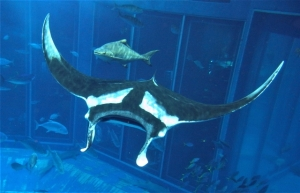 Once again, a giant manta, the world's largest species of ray, is living in the Kuroshio Sea tank!  image