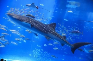 A big discovery about the whale shark's small eyes! image