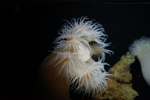 Discovery of a new species! The world's first exhibit of the Churaumi actinernid sea anemone image