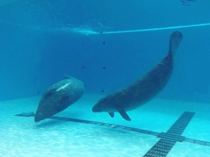 The Manatee Pool reopened on Friday 4th December 2020 image