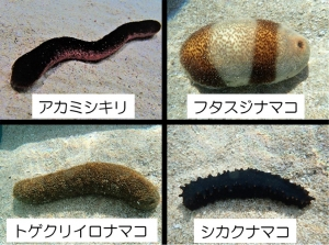 New species of sea cucumber added to the touch pool! image