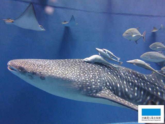 ジンベイザメの動き