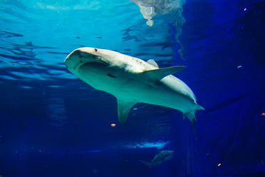 Shark Research Lab | Okinawa Churaumi Aquarium - For the