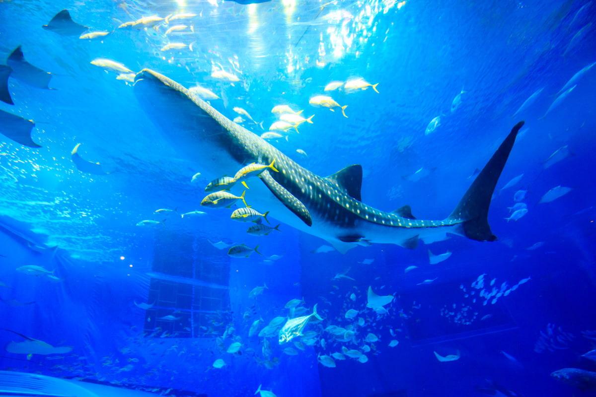 黒潮の海 | 沖縄美ら海水族館 - ...