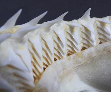 歯が命 | 美ら海だより | 沖縄美ら海水族館 - 沖縄の美ら海を、次の ...