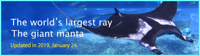The world's largest ray! The giant manta!