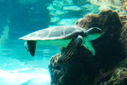 アオウミガメの画像 p1_19